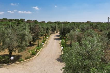 The lush olive grove in the garden of the property